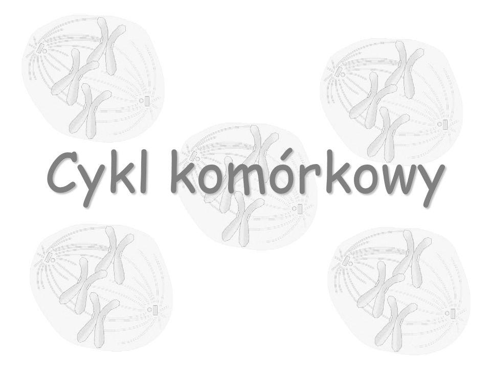 Wchodzenie w cykl komórkowy Do wejścia komórki w cykl prowadzi uruchomienie programu redukcji (programu plejotypowego).