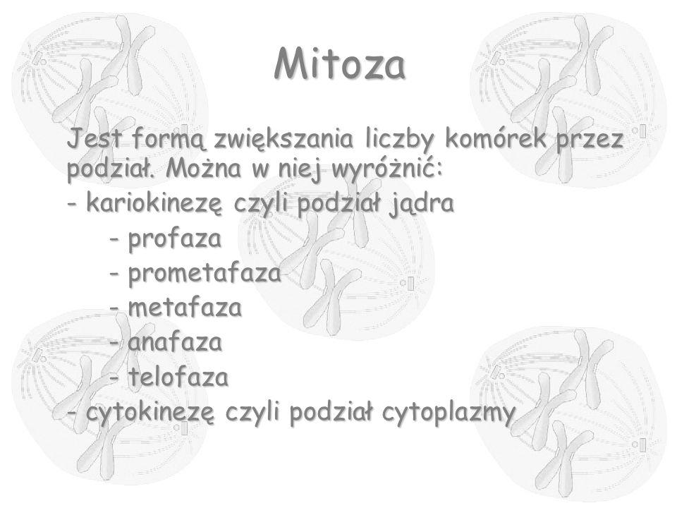 Mitoza Jest formą zwiększania liczby komórek przez podział. Można w niej wyróżnić: - kariokinezę czyli podział jądra - profaza - prometafaza - metafaz