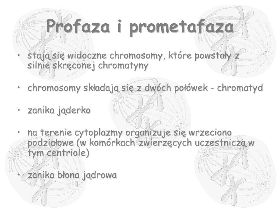 Profaza i prometafaza stają się widoczne chromosomy, które powstały z silnie skręconej chromatynystają się widoczne chromosomy, które powstały z silni
