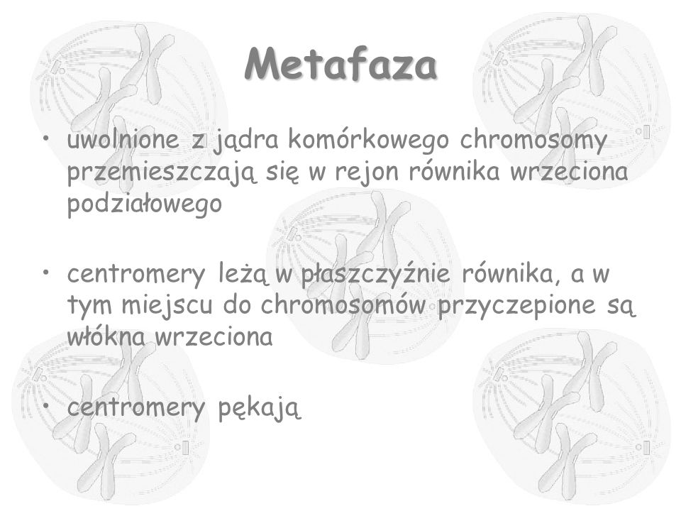Metafaza uwolnione z jądra komórkowego chromosomy przemieszczają się w rejon równika wrzeciona podziałowego centromery leżą w płaszczyźnie równika, a