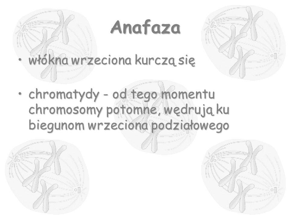 Anafaza włókna wrzeciona kurczą sięwłókna wrzeciona kurczą się chromatydy - od tego momentu chromosomy potomne, wędrują ku biegunom wrzeciona podziało