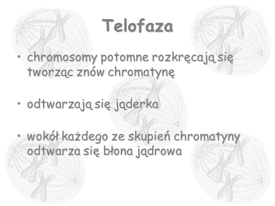 Telofaza chromosomy potomne rozkręcają się tworząc znów chromatynęchromosomy potomne rozkręcają się tworząc znów chromatynę odtwarzają się jąderkaodtw