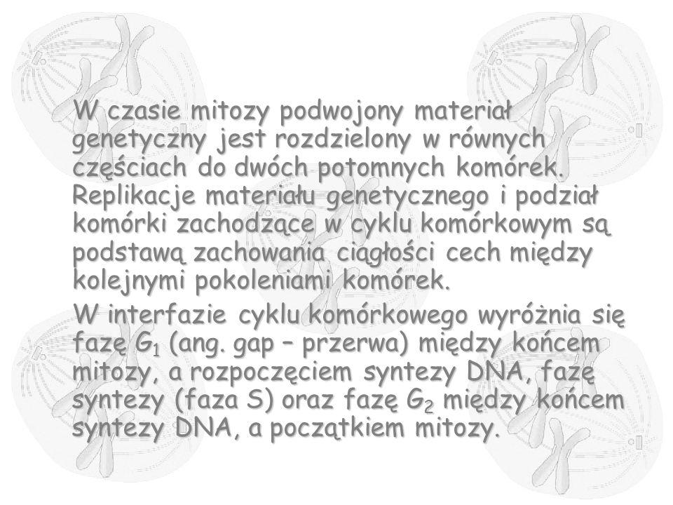 W czasie mitozy podwojony materiał genetyczny jest rozdzielony w równych częściach do dwóch potomnych komórek. Replikacje materiału genetycznego i pod