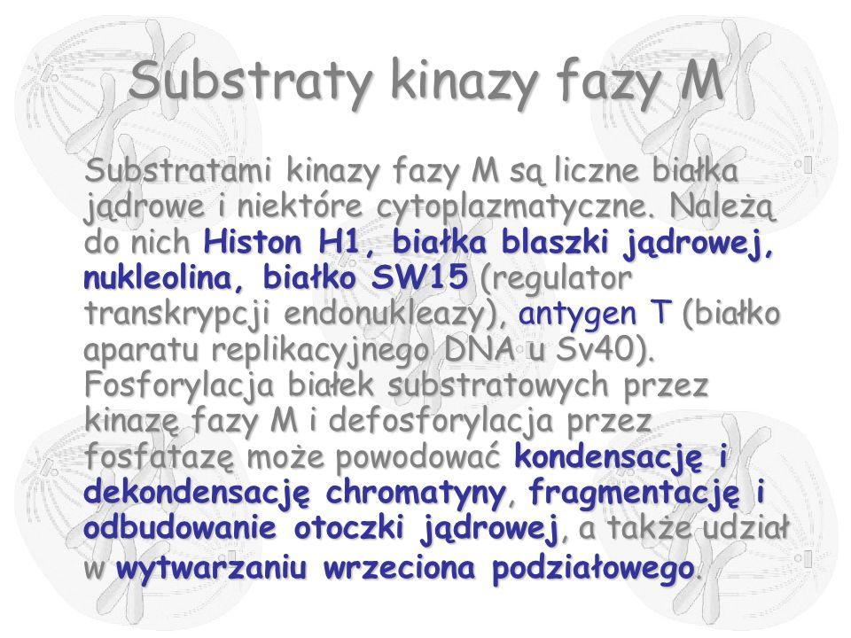 Substraty kinazy fazy M Substratami kinazy fazy M są liczne białka jądrowe i niektóre cytoplazmatyczne. Należą do nich Histon H1, białka blaszki jądro