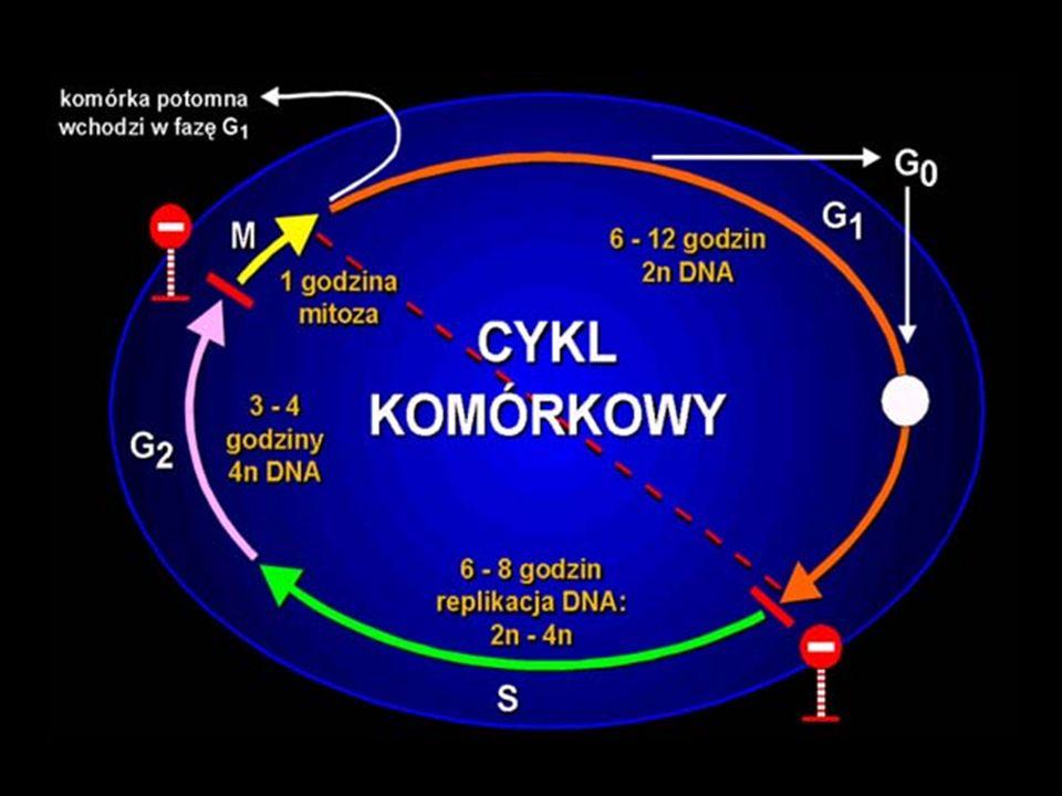 Profaza i prometafaza stają się widoczne chromosomy, które powstały z silnie skręconej chromatynystają się widoczne chromosomy, które powstały z silnie skręconej chromatyny chromosomy składają się z dwóch połówek - chromatydchromosomy składają się z dwóch połówek - chromatyd zanika jąderkozanika jąderko na terenie cytoplazmy organizuje się wrzeciono podziałowe (w komórkach zwierzęcych uczestniczą w tym centriole)na terenie cytoplazmy organizuje się wrzeciono podziałowe (w komórkach zwierzęcych uczestniczą w tym centriole) zanika błona jądrowazanika błona jądrowa