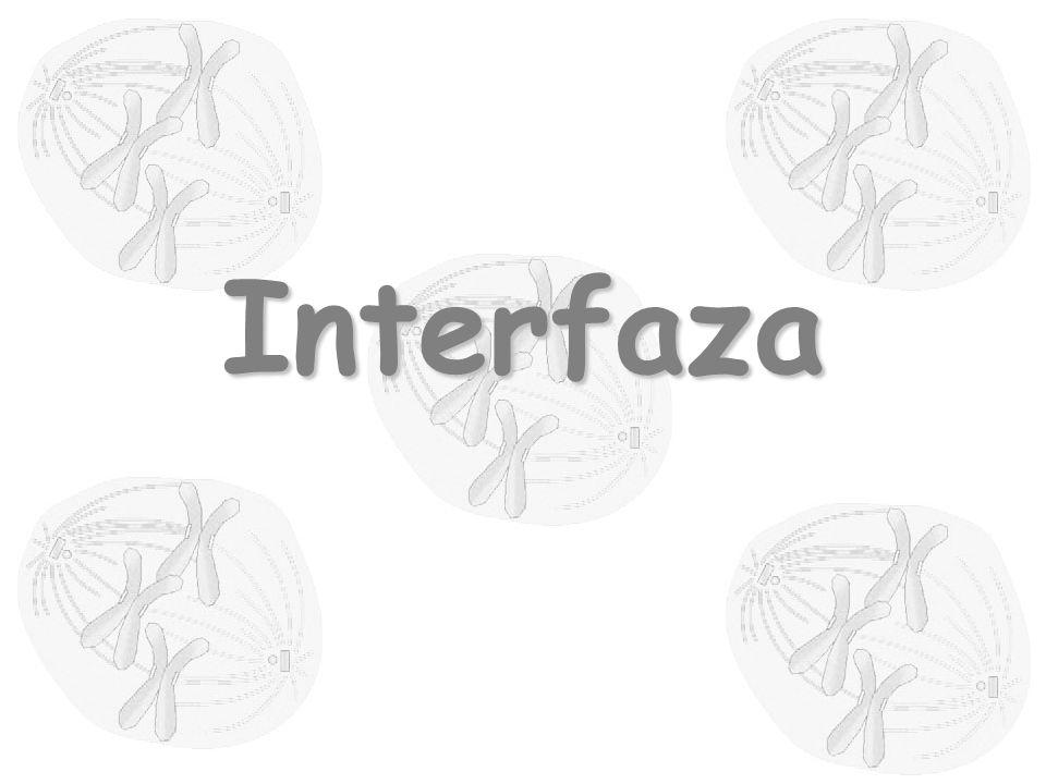 centrosom błona jądrowa jąderko chromatyna cytozol błona komórkowa Interfaza