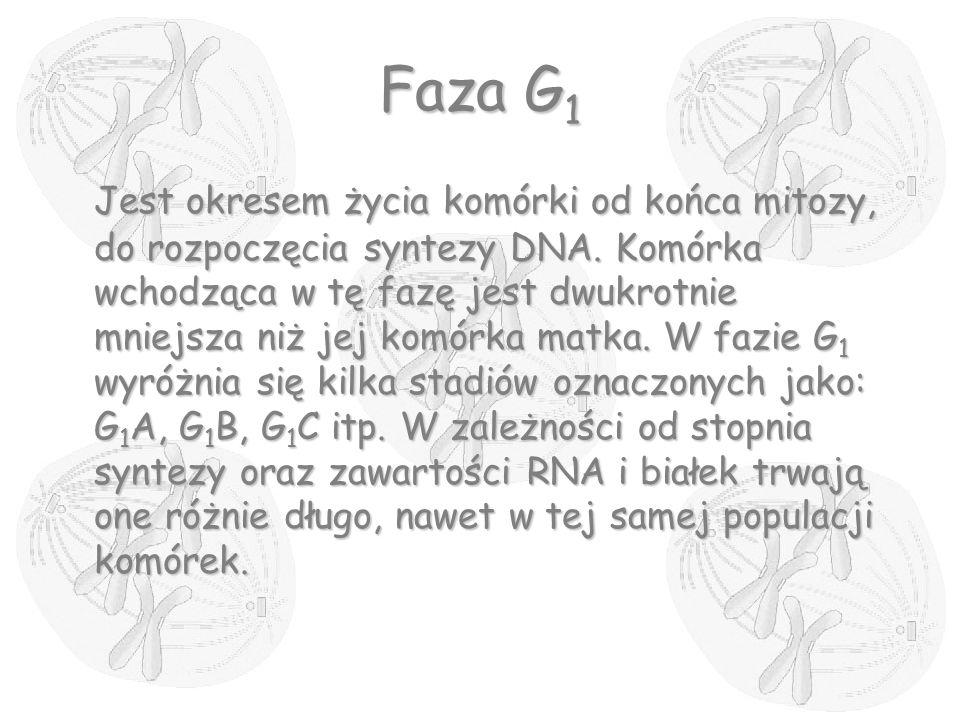 Faza G 1 Jest okresem życia komórki od końca mitozy, do rozpoczęcia syntezy DNA. Komórka wchodząca w tę fazę jest dwukrotnie mniejsza niż jej komórka