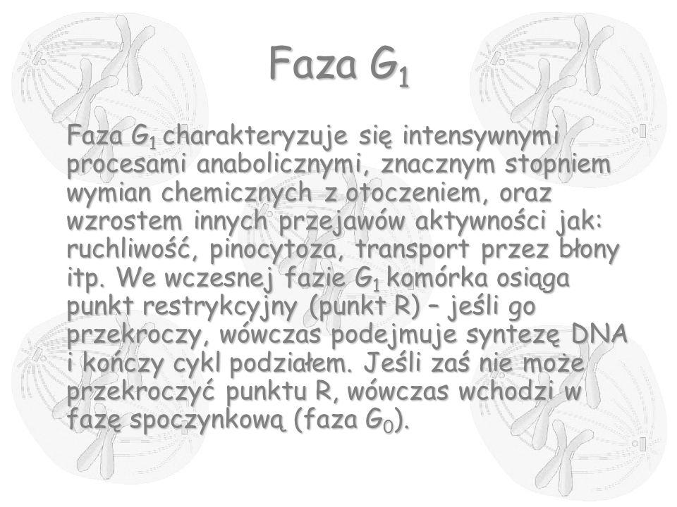 Faza G 1 Faza G 1 charakteryzuje się intensywnymi procesami anabolicznymi, znacznym stopniem wymian chemicznych z otoczeniem, oraz wzrostem innych prz