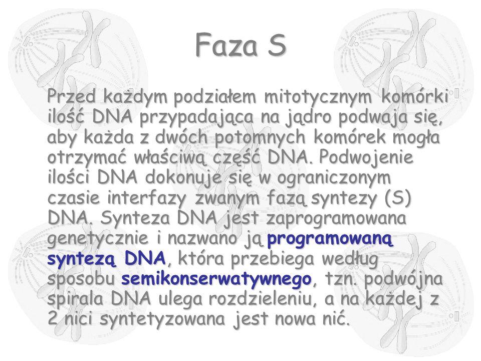 Faza S Przed każdym podziałem mitotycznym komórki ilość DNA przypadająca na jądro podwaja się, aby każda z dwóch potomnych komórek mogła otrzymać właś