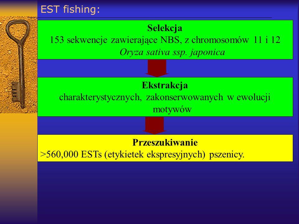 EST fishing: Selekcja 153 sekwencje zawierające NBS, z chromosomów 11 i 12 Oryza sativa ssp. japonica Przeszukiwanie >560,000 ESTs (etykietek ekspresy