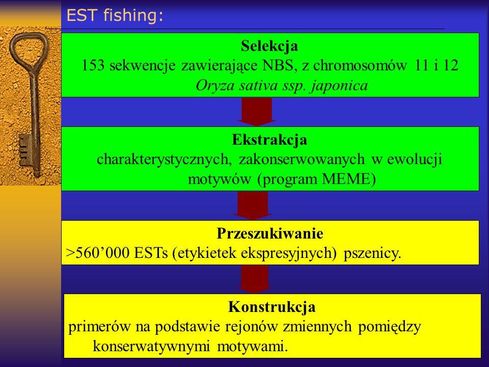 EST fishing: Selekcja 153 sekwencje zawierające NBS, z chromosomów 11 i 12 Oryza sativa ssp. japonica Przeszukiwanie >560000 ESTs (etykietek ekspresyj