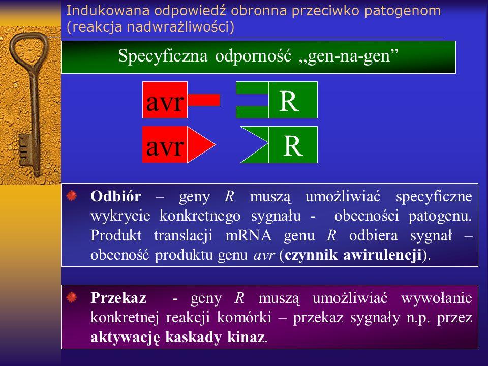 Indukowana odpowiedź obronna przeciwko patogenom (reakcja nadwrażliwości) avr R R Specyficzna odporność gen-na-gen Odbiór – geny R muszą umożliwiać sp