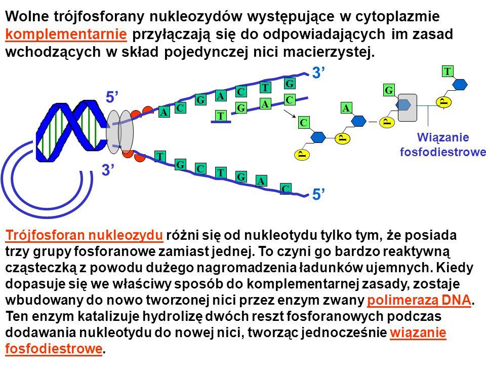 Wolne trójfosforany nukleozydów występujące w cytoplazmie komplementarnie przyłączają się do odpowiadających im zasad wchodzących w skład pojedynczej