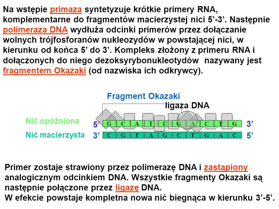 Na wstępie primaza syntetyzuje krótkie primery RNA, komplementarne do fragmentów macierzystej nici 5-3. Następnie polimeraza DNA wydłuża odcinki prime
