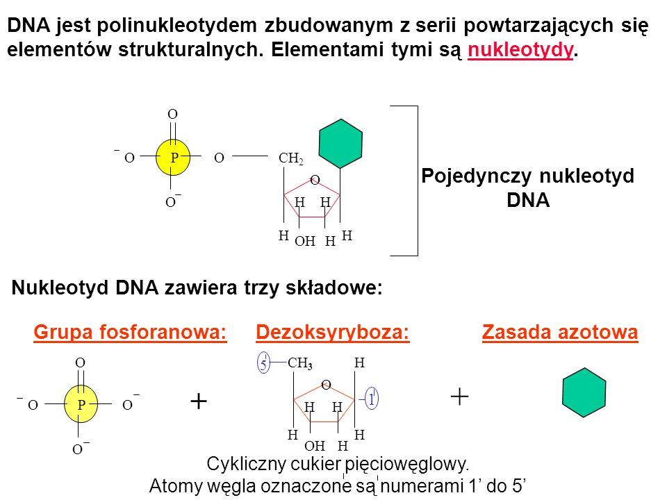 Pojedynczy nukleotyd DNA Nukleotyd DNA zawiera trzy składowe: Grupa fosforanowa:Dezoksyryboza:Zasada azotowa H O CH 2 HOH H HH O O OP O O O OP O H H H