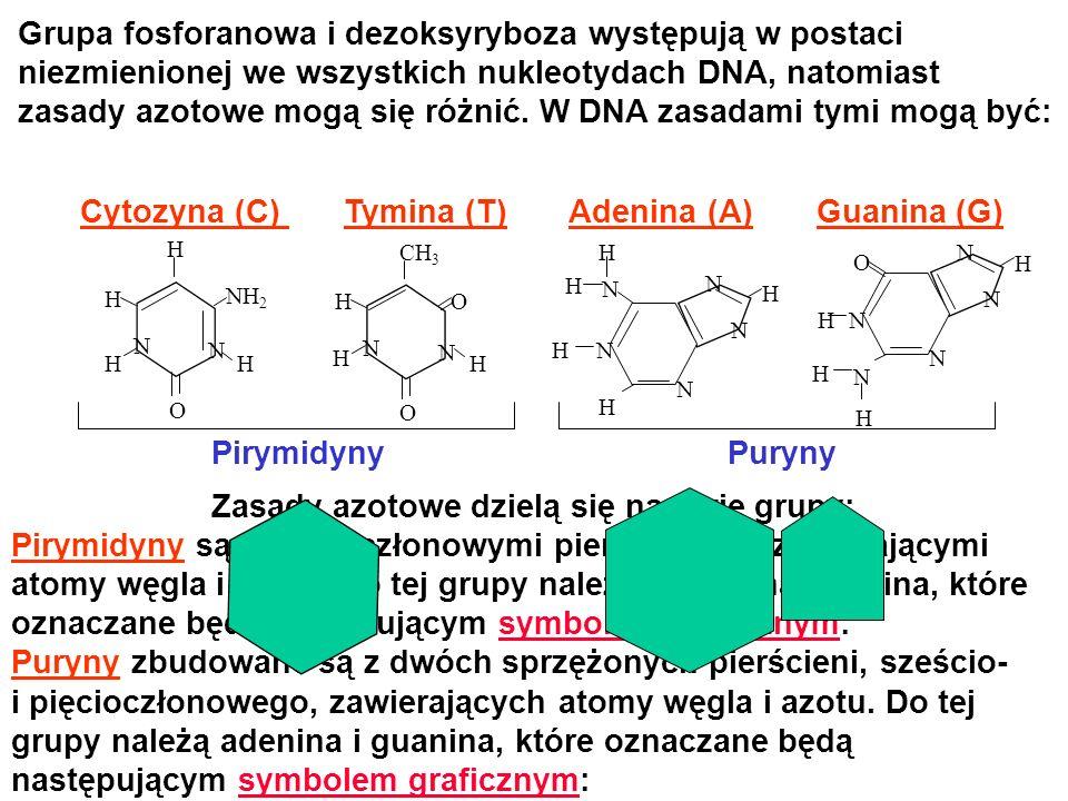 HOH H CH 2 O H HH Nukleotyd DNA powstaje w wyniku przyłączenia grupy fosforanowej do atomu węgla 5 dezoksyrybozy oraz jednej z czterech zasad azotowych do atomu węgla 1 dezoksyrybozy.