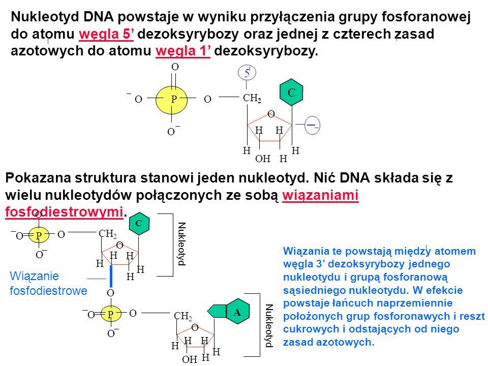 HOH H CH 2 O H HH Nukleotyd DNA powstaje w wyniku przyłączenia grupy fosforanowej do atomu węgla 5 dezoksyrybozy oraz jednej z czterech zasad azotowyc