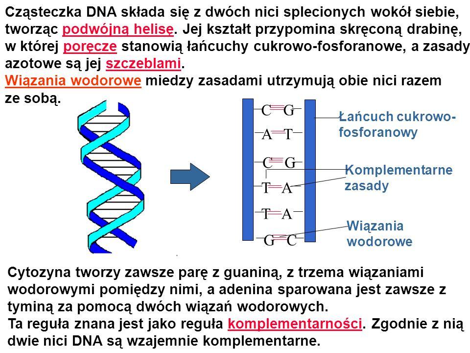 Cząsteczka DNA składa się z dwóch nici splecionych wokół siebie, tworząc podwójną helisę. Jej kształt przypomina skręconą drabinę, w której poręcze st