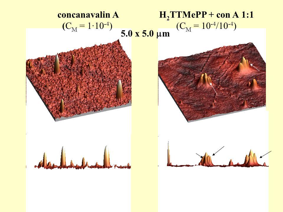 concanavalin A (C M = 1·10 -4 ) H 2 TTMePP + con A 1:1 (C M = 10 -4 /10 -4 ) 5.0 x 5.0 m