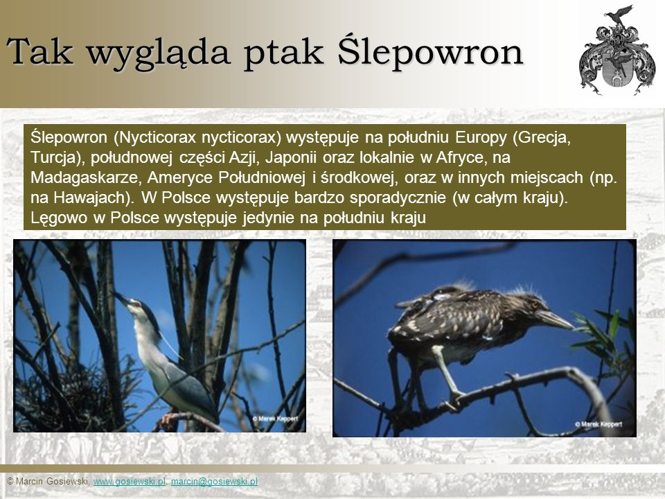 © Marcin Gosiewski, www.gosiewski.pl, marcin@gosiewski.plwww.gosiewski.plmarcin@gosiewski.pl Tak wygląda ptak Ślepowron Ślepowron (Nycticorax nycticor