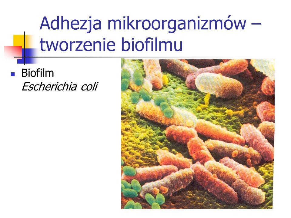 Adhezja mikroorganizmów – tworzenie biofilmu Biofilm Escherichia coli
