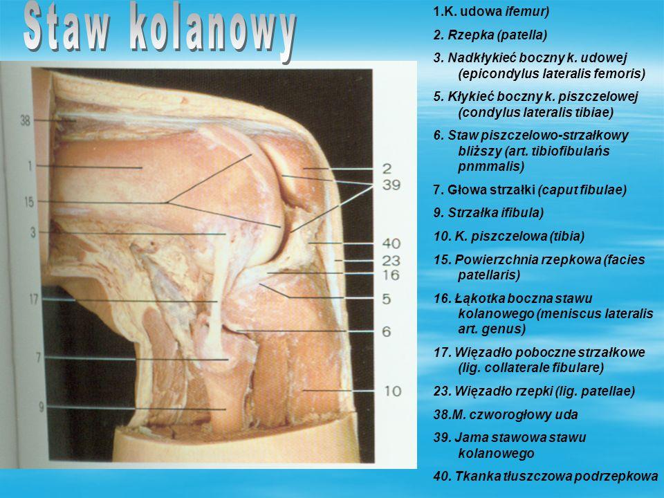 I Grupa przednia mięśni uda: - m.krawiecki – m. czworogłowy uda -m.
