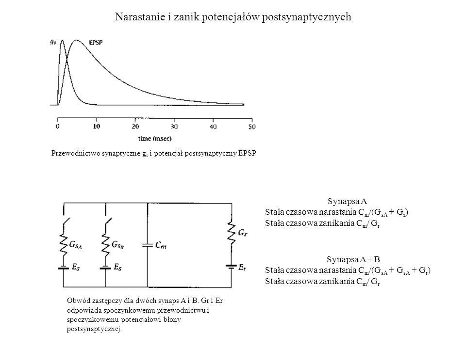 Narastanie i zanik potencjałów postsynaptycznych Przewodnictwo synaptyczne g s i potencjał postsynaptyczny EPSP Synapsa A Stała czasowa narastania C m /(G sA + G r ) Stała czasowa zanikania C m / G r Obwód zastępczy dla dwóch synaps A i B.