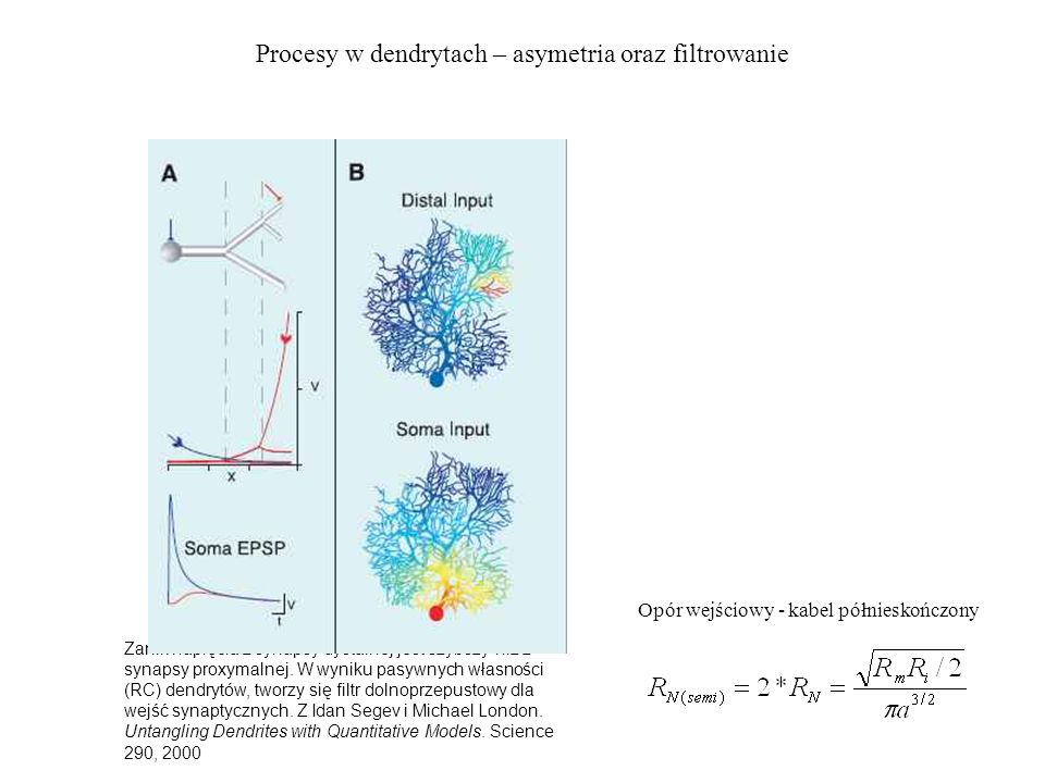 Procesy w dendrytach – asymetria oraz filtrowanie Zanik napięcia z synapsy dystalnej jest szybszy niż z synapsy proxymalnej.