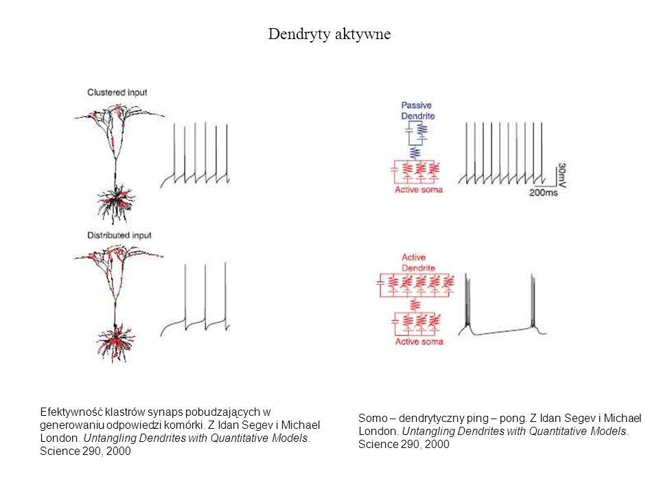 Dendryty aktywne Efektywność klastrów synaps pobudzających w generowaniu odpowiedzi komórki. Z Idan Segev i Michael London. Untangling Dendrites with