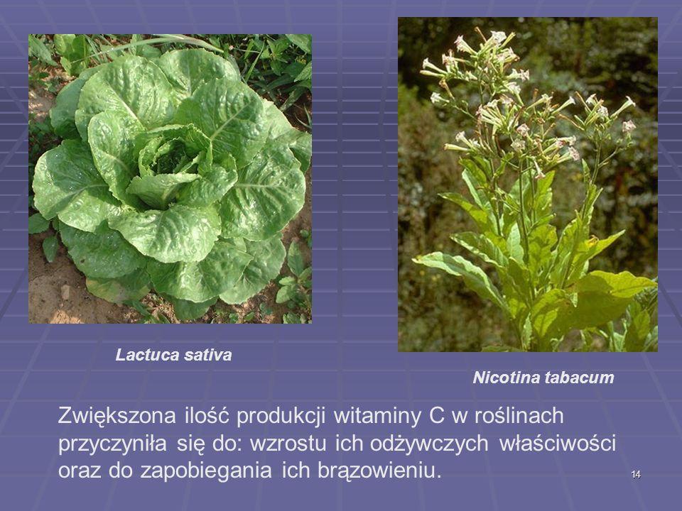 14 Lactuca sativa Nicotina tabacum Zwiększona ilość produkcji witaminy C w roślinach przyczyniła się do: wzrostu ich odżywczych właściwości oraz do za