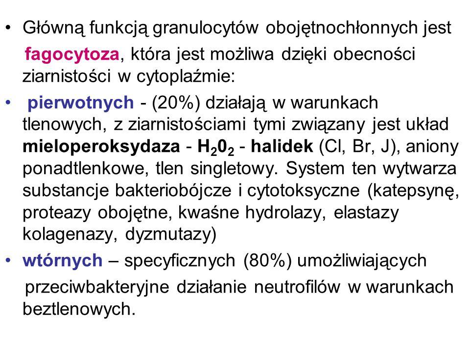 Główną funkcją granulocytów obojętnochłonnych jest fagocytoza, która jest możliwa dzięki obecności ziarnistości w cytoplaźmie: pierwotnych - (20%) dzi