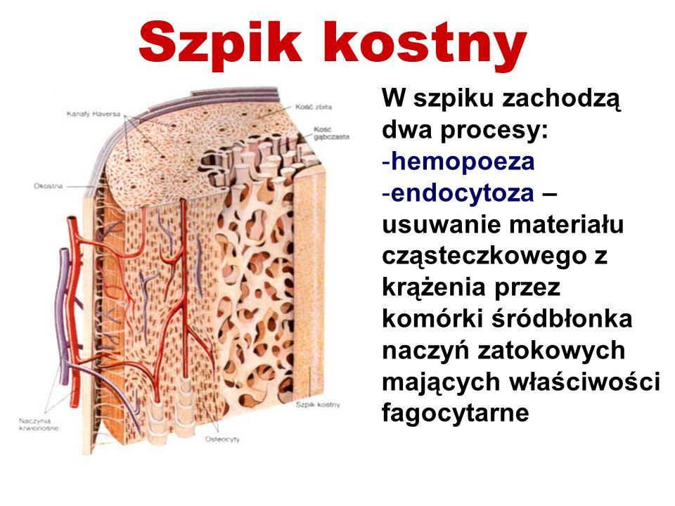 Szpik kostny W szpiku zachodzą dwa procesy: -hemopoeza -endocytoza – usuwanie materiału cząsteczkowego z krążenia przez komórki śródbłonka naczyń zato