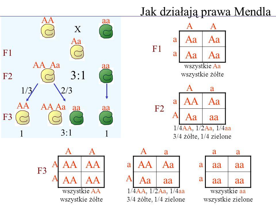 X F1 F2 F3 3:1 1/32/3 AA aa Aa aa AA Aa AA AA Aa aa Jak działają prawa Mendla 11 Aa A A a a AAAa aa A a a A wszystkie Aa wszystkie żółte 1/4AA, 1/2Aa,