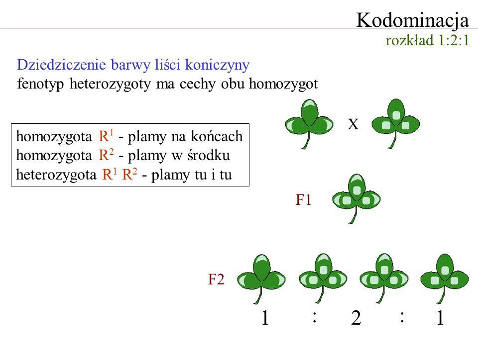 Kodominacja homozygota R 1 - plamy na końcach homozygota R 2 - plamy w środku heterozygota R 1 R 2 - plamy tu i tu Dziedziczenie barwy liści koniczyny