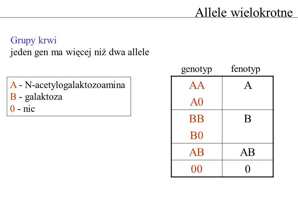 Allele wielokrotne A - N-acetylogalaktozoamina B - galaktoza 0 - nic Grupy krwi jeden gen ma więcej niż dwa allele AA A0 A BB B0 B AB 000 genotyp feno