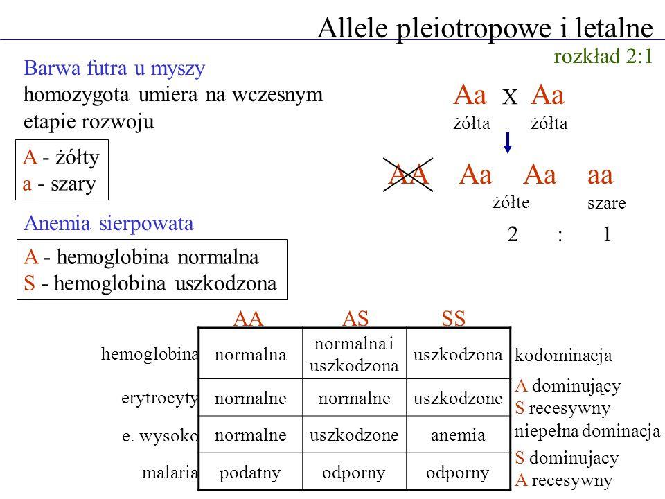 Allele pleiotropowe i letalne A - żółty a - szary Barwa futra u myszy homozygota umiera na wczesnym etapie rozwoju Aa żółta Aa żółta AAAa aa szare X 2