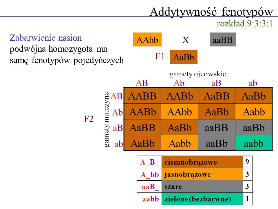 Addytywność fenotypów Zabarwienie nasion podwójna homozygota ma sumę fenotypów pojedyńczych rozkład 9:3:3:1 AAbbaaBB AaBb AABBAABbAaBBAaBb AABbAAbbAaB