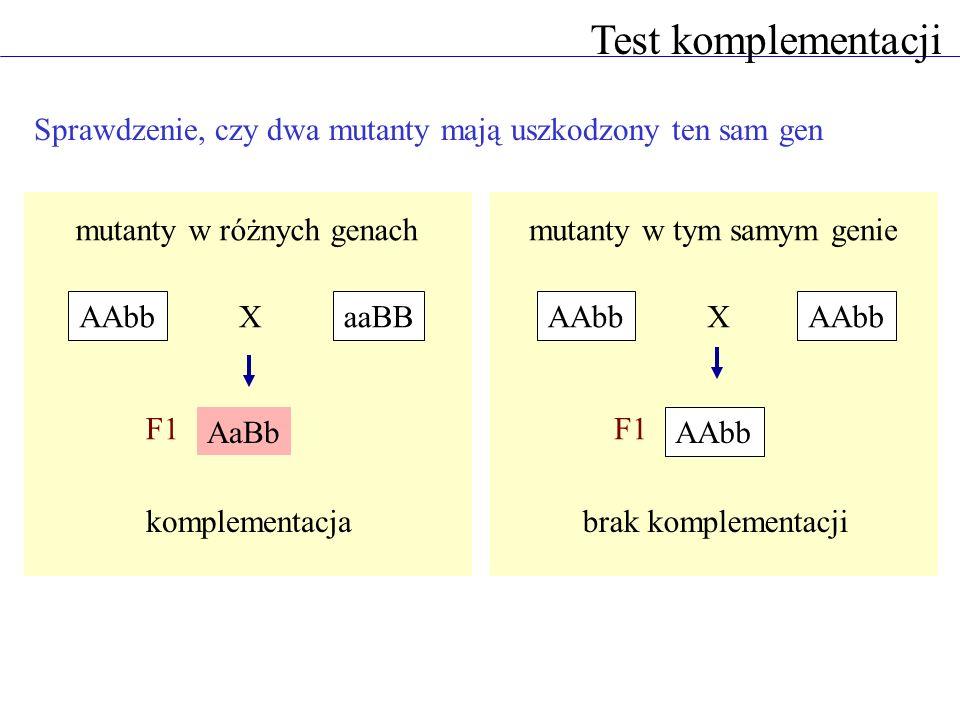 Test komplementacji Sprawdzenie, czy dwa mutanty mają uszkodzony ten sam gen AAbbaaBB AaBb X F1 AAbb X F1 mutanty w różnych genachmutanty w tym samym