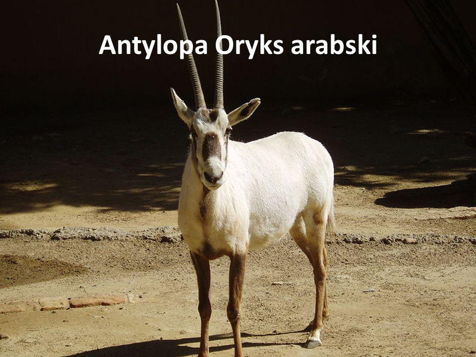 Antylopa Oryks arabski