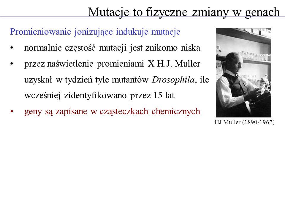 Promieniowanie jonizujące indukuje mutacje normalnie częstość mutacji jest znikomo niska przez naświetlenie promieniami X H.J. Muller uzyskał w tydzie