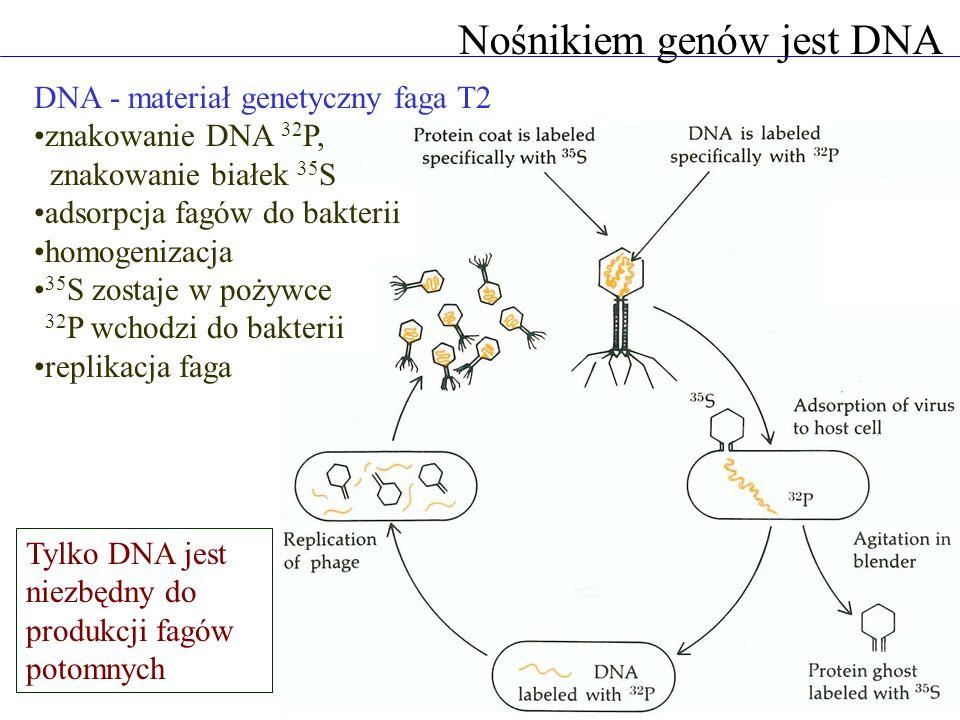 Nośnikiem genów jest DNA DNA - materiał genetyczny faga T2 znakowanie DNA 32 P, znakowanie białek 35 S adsorpcja fagów do bakterii homogenizacja 35 S