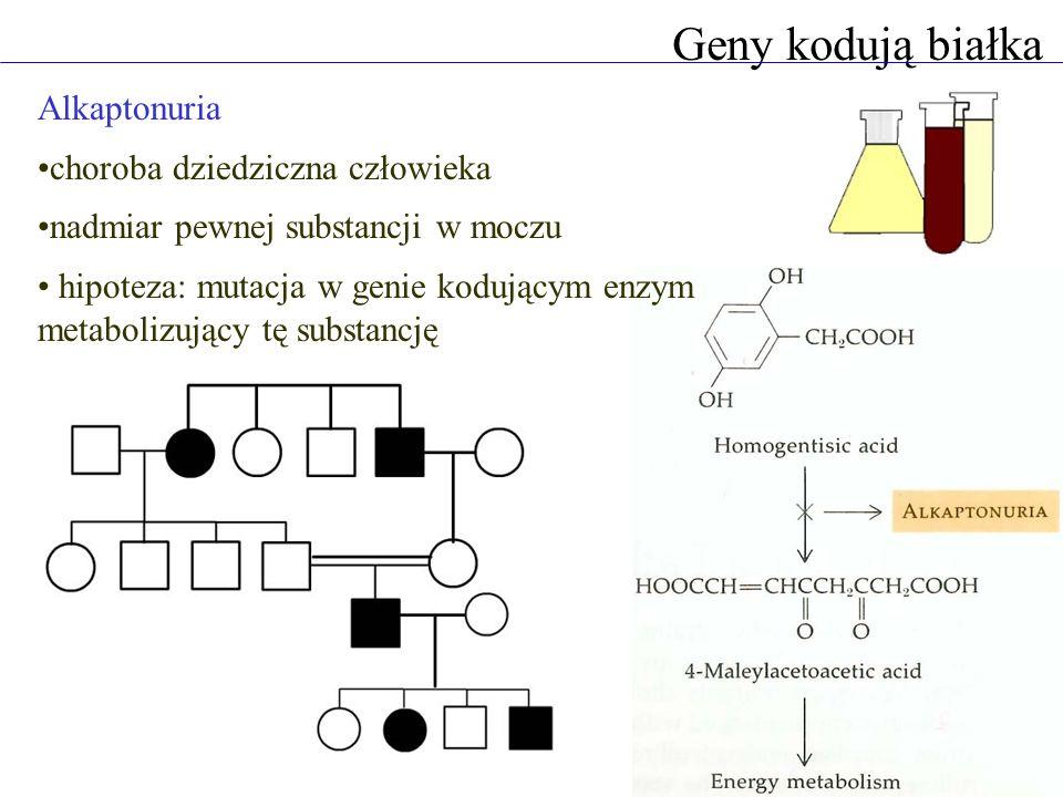 Geny kodują białka Alkaptonuria choroba dziedziczna człowieka nadmiar pewnej substancji w moczu hipoteza: mutacja w genie kodującym enzym metabolizujący tę substancję