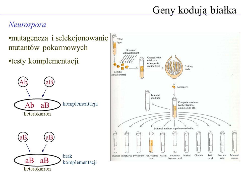 Geny kodują białka Neurospora mutageneza i selekcjonowanie mutantów pokarmowych testy komplementacji AbaB Ab aB aB heterokarion komplementacja brak ko