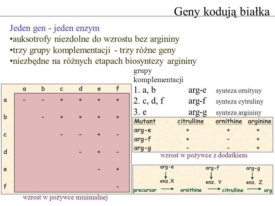 Geny kodują białka Jeden gen - jeden enzym auksotrofy niezdolne do wzrostu bez argininy trzy grupy komplementacji - trzy różne geny niezbędne na różny