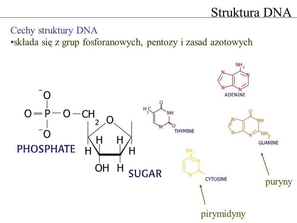 Struktura DNA Cechy struktury DNA składa się z grup fosforanowych, pentozy i zasad azotowych pirymidyny puryny