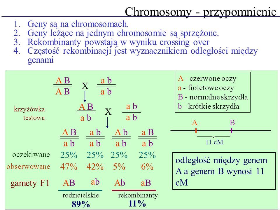 Chromosomy - przypomnienie 1.Geny są na chromosomach. 2.Geny leżące na jednym chromosomie są sprzężone. 3.Rekombinanty powstają w wyniku crossing over
