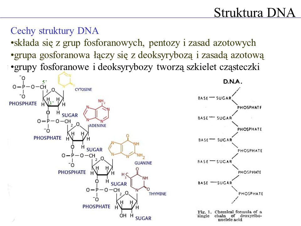 Struktura DNA Cechy struktury DNA składa się z grup fosforanowych, pentozy i zasad azotowych grupa gosforanowa łączy się z deoksyrybozą i zasadą azotową grupy fosforanowe i deoksyrybozy tworzą szkielet cząsteczki 3 5