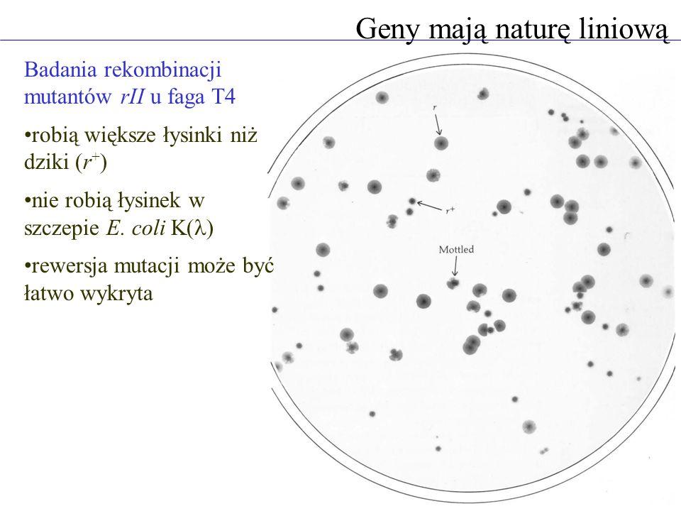 Geny mają naturę liniową Badania rekombinacji mutantów rII u faga T4 robią większe łysinki niż dziki (r + ) nie robią łysinek w szczepie E.