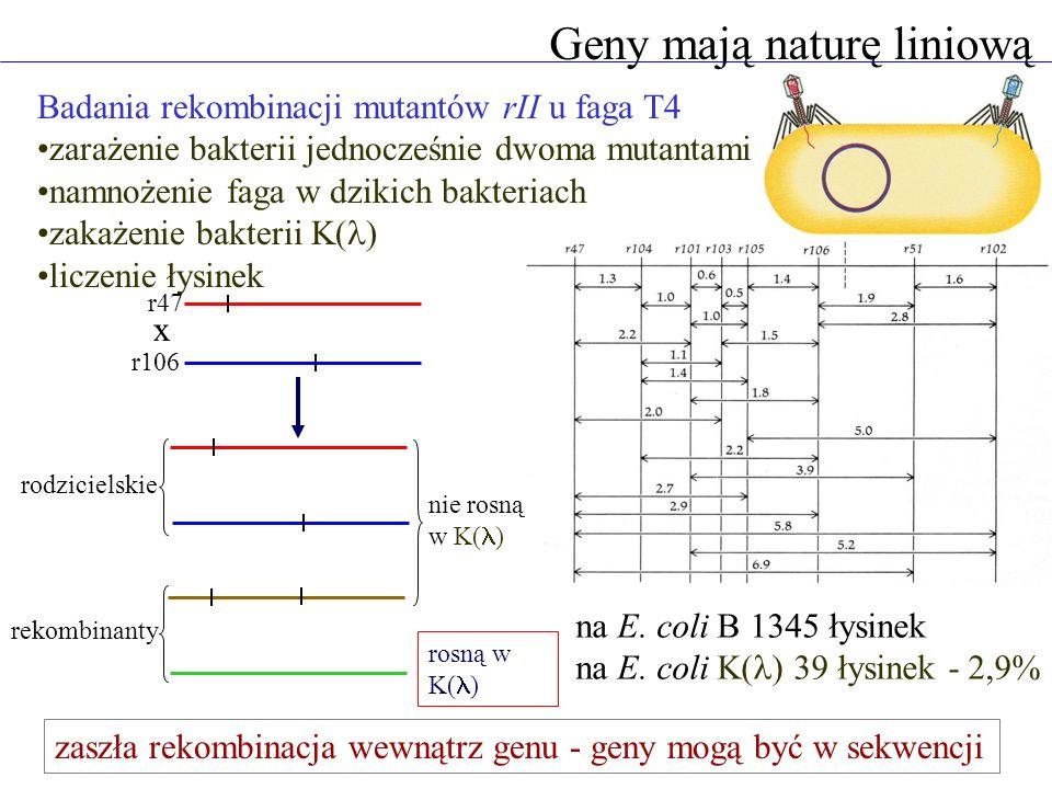Geny mają naturę liniową Badania rekombinacji mutantów rII u faga T4 zarażenie bakterii jednocześnie dwoma mutantami namnożenie faga w dzikich bakteriach zakażenie bakterii K( ) liczenie łysinek r47 r106 x rodzicielskie rekombinanty nie rosną w K( ) rosną w K( ) na E.