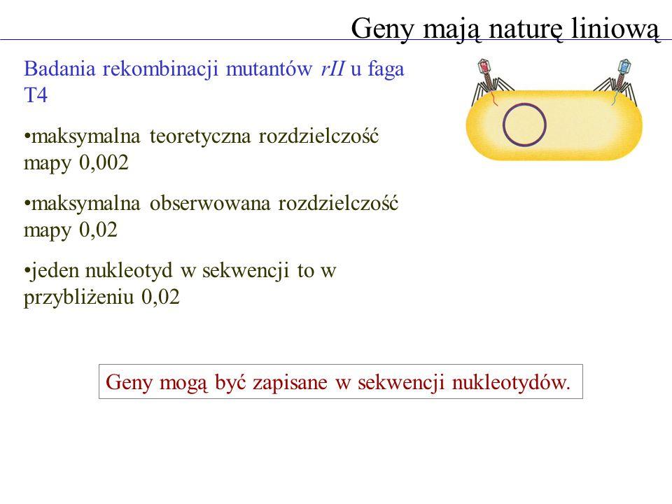 Geny mają naturę liniową Badania rekombinacji mutantów rII u faga T4 maksymalna teoretyczna rozdzielczość mapy 0,002 maksymalna obserwowana rozdzielczość mapy 0,02 jeden nukleotyd w sekwencji to w przybliżeniu 0,02 Geny mogą być zapisane w sekwencji nukleotydów.